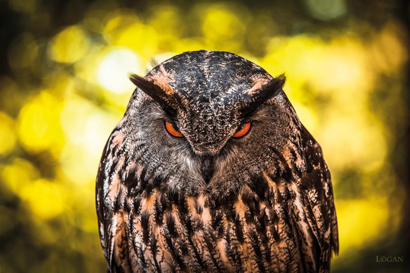 Angry Owl_ 1042404