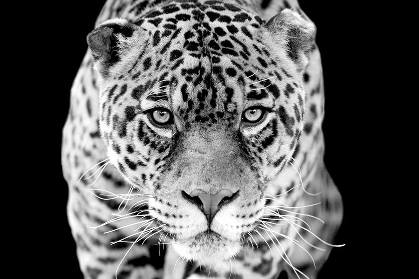 Jaguar_1040626